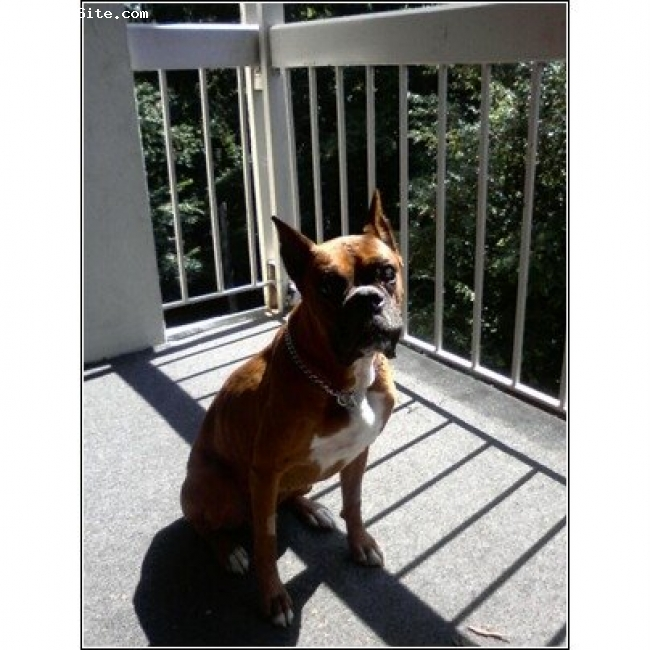 Boxer, 8 years, Fawn, Bruno is a rescue boy