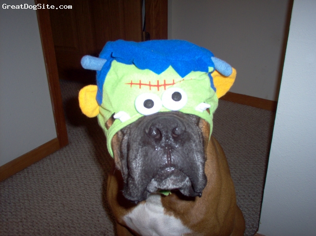 Boxer, 6, Fawn, Ready for Halloween