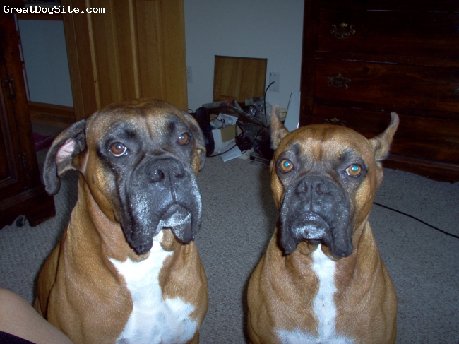 Boxer, 6 & 7, Fawn, Best Friends