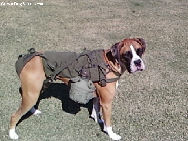 Boxer, 2 Years, Flashy Fawn, Champ is all dressed up for halloween. He is an army dog!