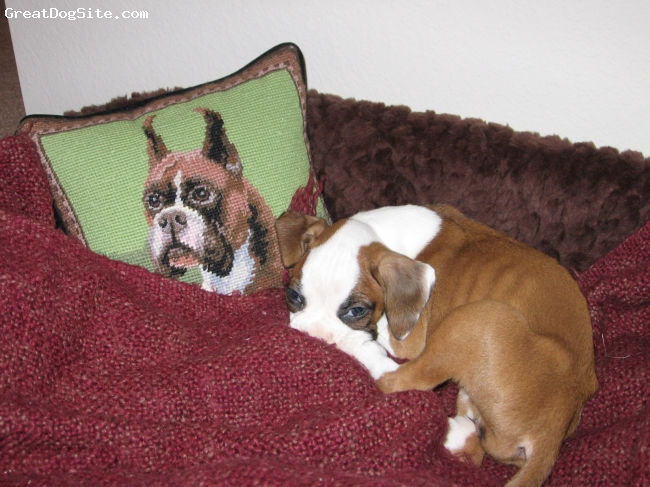 Boxer, 9 months, Flashy Fawn, Little Bailey when she was a puppy at 3 months, sleeping in her bed that now barely fits her.