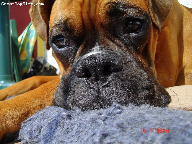Boxer, he was 12 months, brown, He was the BEST DOG EVER!!!!!!!!!!!!!