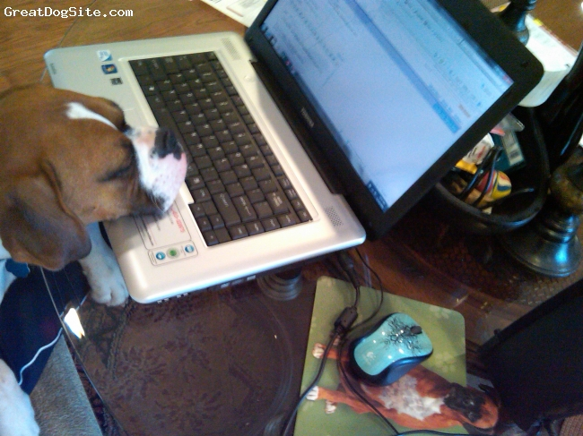 Boxer, 6 Months, Fawn, He loves to sit on our laps...he now wants to be on our laps when we are on the computer!  He is actually asleep and snoring.