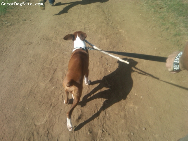 Boxer, 6 Months, Fawn, He loves to run with a stick!