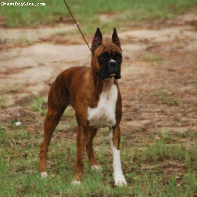 Boxer, 2yrs, brindle, Sandy is abrindle and white female that i show in dog shows .we show akc,ukc,and apri she is an apri par excellence champion.