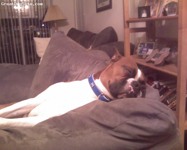 Boxer, 2 years, Fawn, Sleeping soundly in HIS CHAIR!