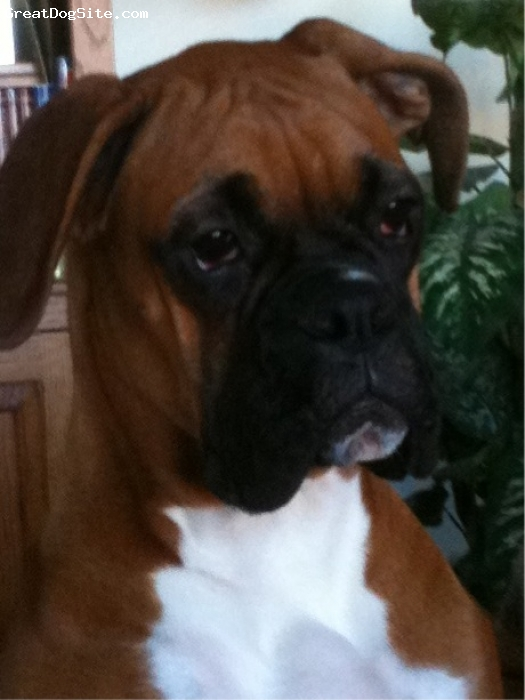 Boxer, 6 months, Fawn, Good pic of Dozer 6 months old
