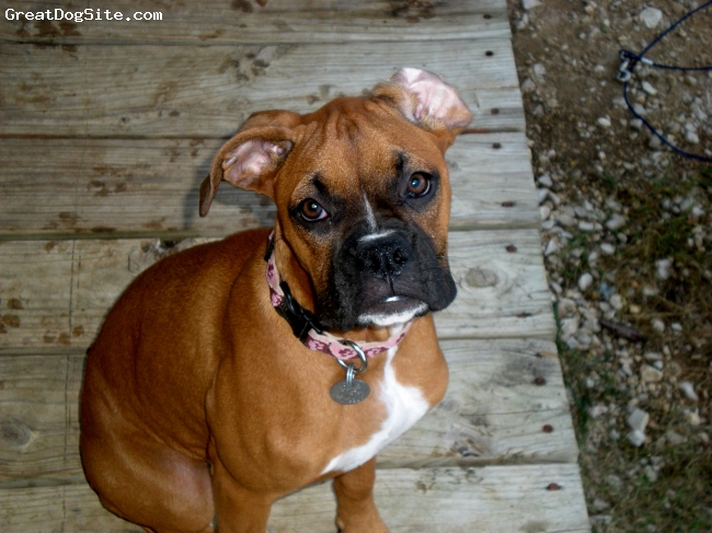 Boxer, 6 mts, Fawn, My little big girl who farts a lot, she is playful but cautious of new places.