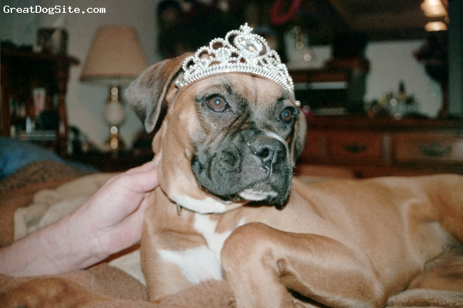 Boxer, 2 1/2 years, Fawn w/ black mask, Sissy loves to feel like a princess! She is such a wonderful dog with a great sense of humor. I`m hoping to get her into the movies!