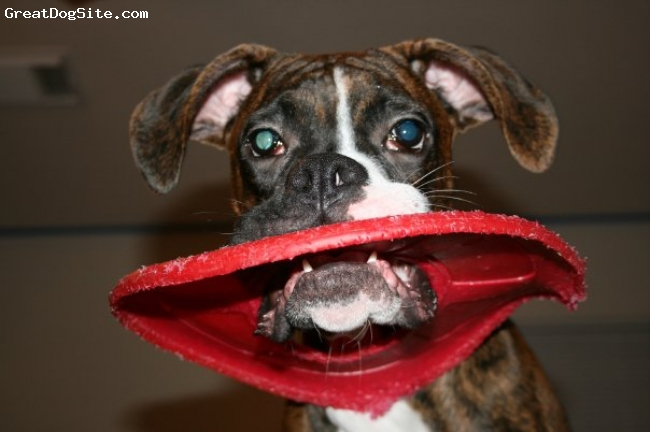 Boxer, 10 months, brindle, He loved this frisbee but he tore it up too quickly so we had to throw it away lol.