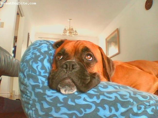 Boxer, 8 months, fawn, Jotaaaaaaaaaa