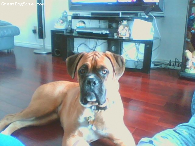Boxer, 8 months, fawn, so e sweet