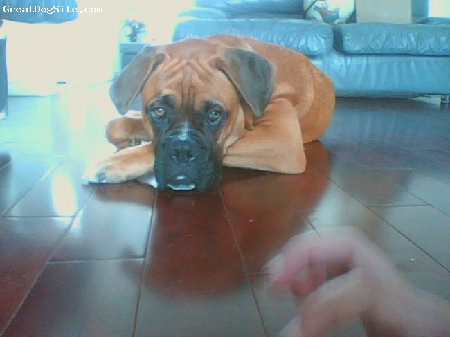 Boxer, 6 mounths, fawn, jota is sooooooooooooo nice and he doesnt bite and hes very lazy and hes MINE