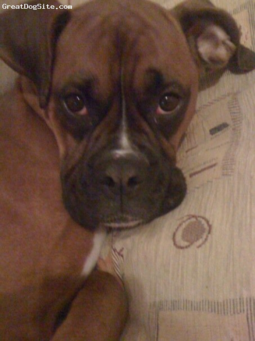 Boxer, 1, Tan and white, This is my baby princess she is crazy and lives up to her name