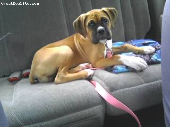 Boxer, 12 weeks, fawn, Chillin in the back seat