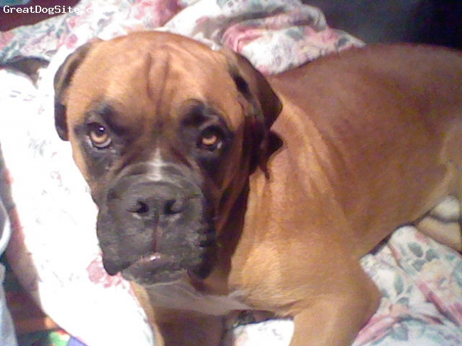 Boxer, 10 months, fawn, just waking up