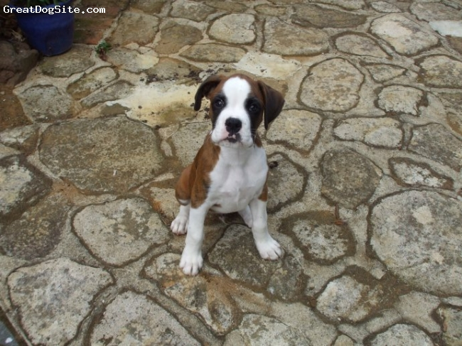Boxer, 6 months, White & brown brindle, very good natured dog