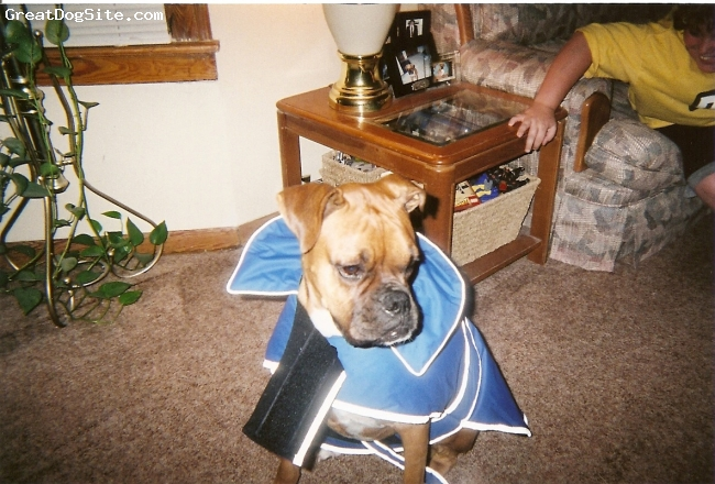 Boxer, 2, fawn, Duke trying on his new coat for winter