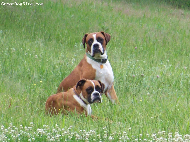 Boxer, 3 yrs., red/ white, 80 lbs. of loveable calm not a care in the world dog