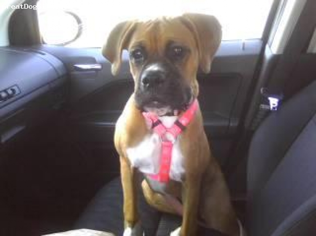 Boxer, 5 1/2 months, fawn, Waiting as patiently as she can