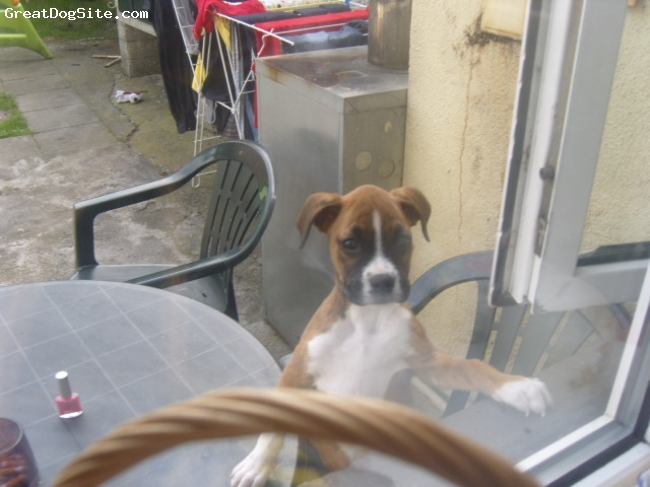Boxer, 12 weeks, light broun with white markings, she is lovely pet.loves going for walk.play with kids and eat muy shoes lol do u thing she is full breed?hope she is.