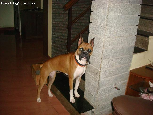 Boxer, 2 years, Frawn, ricca