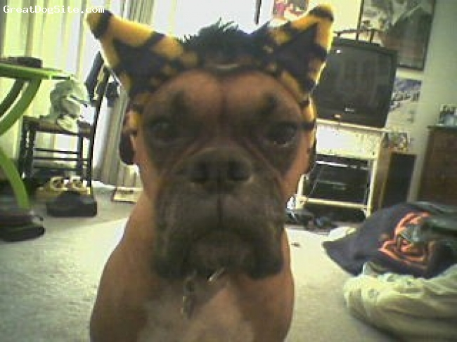 Boxer, 11, Fawn w/ black mask, HARLEY 5 YEARS OLD...HALLOWEEN...LOL!!