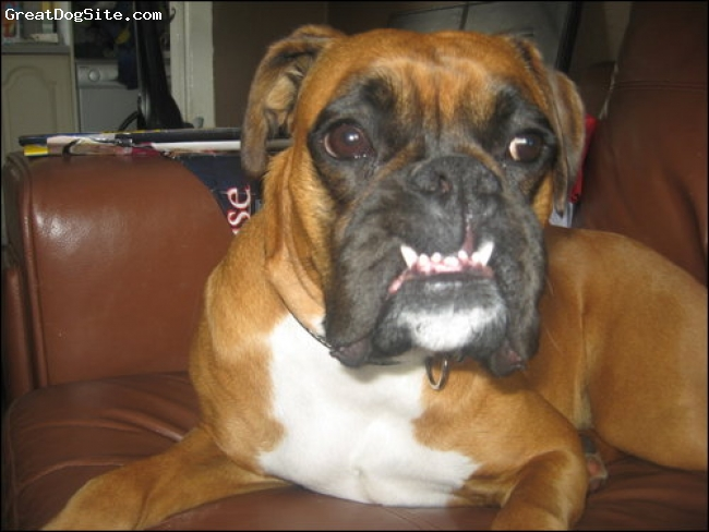 Boxer, 2 years old, red and white, hyper active bitch, brillant with kids, lloking for a male boxer to breed with.