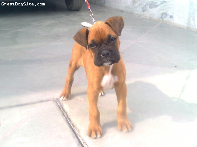 Boxer, 2 1/2 month, fawn, mac is ma best friend