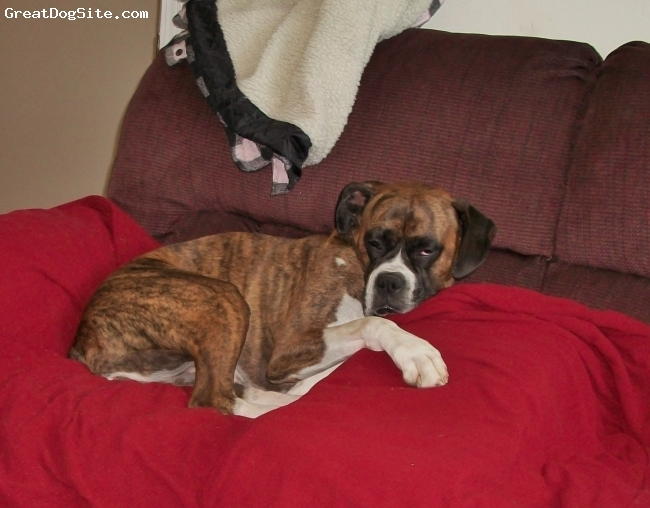 Boxer, 8, brindle, beautiful female brindle boxer