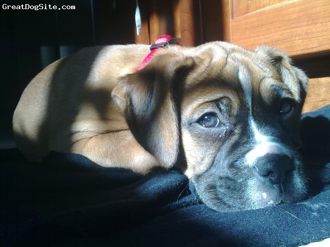 Boxer, 3 months, brown, Good tempered dog. She likes to be the centre for attention with her cute face