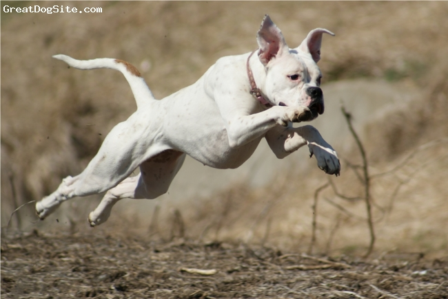Boxer, 11 months, white, This is Princess trying to fly...