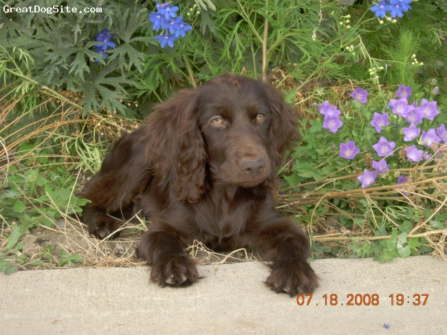 Boykin Spaniel, 4 months, chocolate, 4 month old male