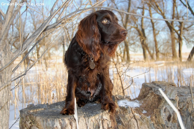 Boykin Spaniel, 1 year, Choc., Looking at the birds while on a sit/stay