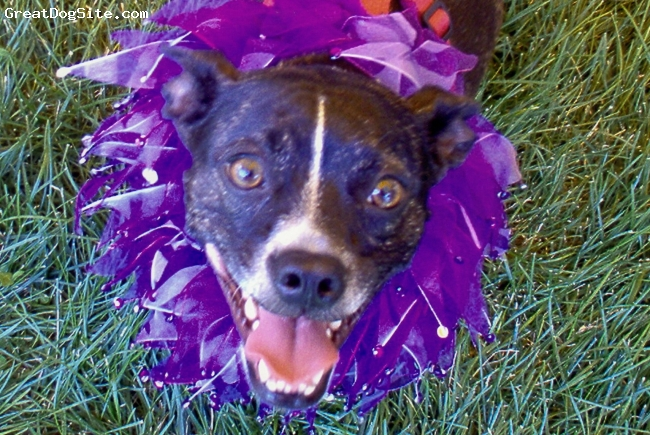 Brat, 7, Brindle, Boston-Rat terrier.  Very loyal, highly energetic, and intelligent.  Loves to play or sit right next to you.  Picky eater.  Scared of thunder.  Healthy although she gets pimples.  Hates her nails clipped.  Loves other dogs and long walks.  Very lovable!