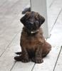 Briard, 6 weeks, tawny