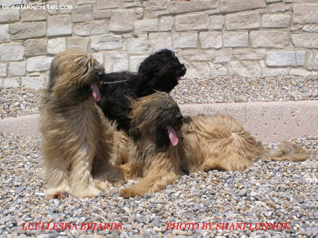 Briard, 4,3,2, FAWN & BLACK, BEACH POSE