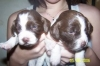 Brittany Spaniel, 8 weeks, liver