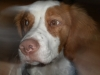 Brittany Spaniel, 6 months, orange/white