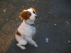 Brittany Spaniel, 2, Orange on White