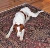 Brittany Spaniel, 5 yrs, orange & white
