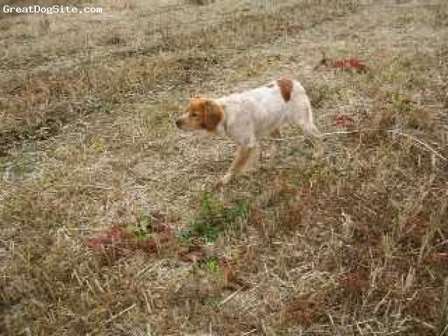 Brittany Spaniel, 2yrs, orange/white roan, Bako de Keranlouan French Import