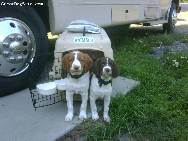 Brittany Spaniel, 9 weeks, Org/wht Lvr/wht, The brothers Ray and CJ arrive at their forever home