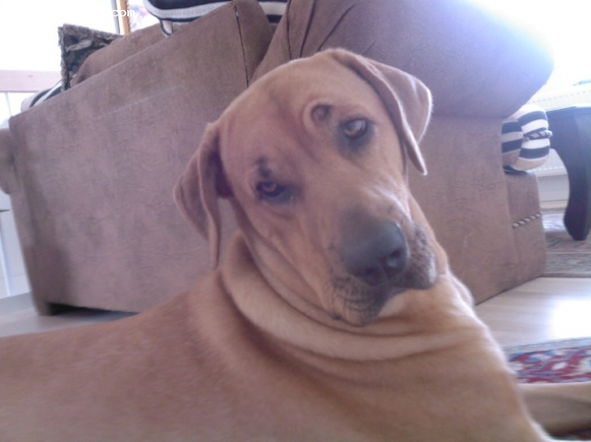 Broholmer, 1/5, brun, min hund