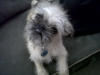 Brug, 8 months, fawn/black