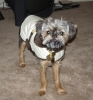 Brussels Griffon, 2, Black & Tan