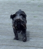 Brussels Griffon, 6, Black and Tan