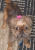 Brussels Griffon, 4 months, Red