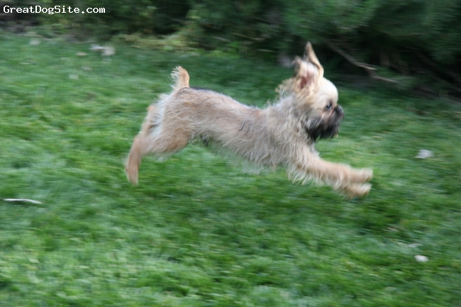 Brussels Griffon, 4 months, Light Belge, Brutus can fly!