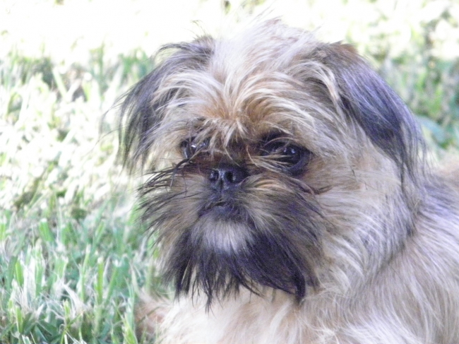 Brussels Griffon, 7 months, Belge, Brussells griffon puppy female owned by